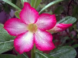 adenium rouge (rose du désert)